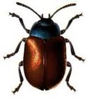 Beetle1_1