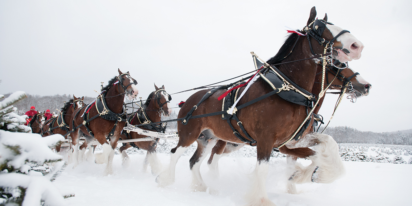 how the budweiser clydesdales became a force in holiday