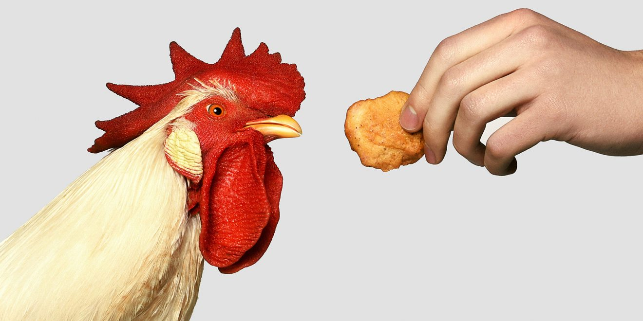 A chicken looking at a chicken nugget.