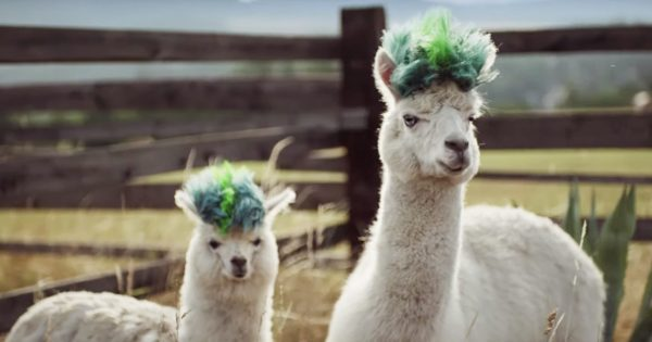 Alpacas Get Funky New 'Dos in Samsung's Playful Galaxy Note 10 Campaign