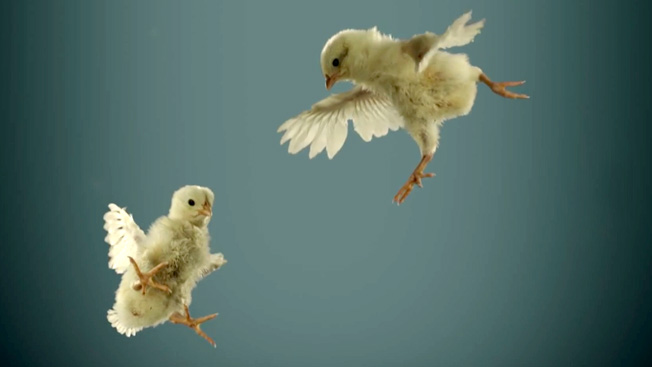 Slow Motion Baby Chickens Fall From The Sky In Cutest And Saddest