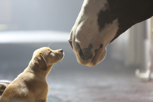 Bud Set to Charm the World With Its 'Puppy Love' Super Bowl Ad